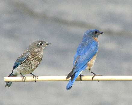 Betty Pieper - Male and Female Bluebirds on a Perch