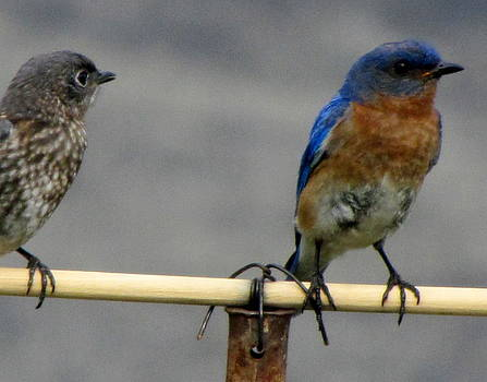 Betty Pieper - Male Bluebird Ignoring Female Bluebird