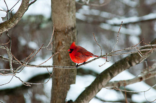 Male Cardinal in Winter by Ron Smith