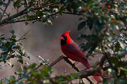 Male Cardinal by Ron Smith