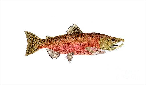 Male Chinook Salmon in Spawning Colors by Thom Glace