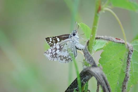 Michael Peychich - Male Common Checkered Skipper 8797 3425