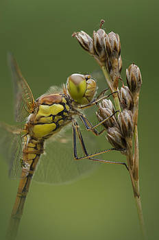Male Common Darter by Andy Astbury