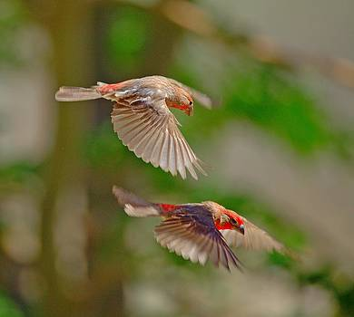 Male Finch's by SB Sullivan