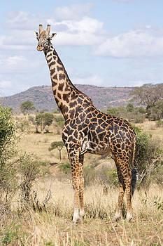 Howard Kennedy - Male Masai Giraffe
