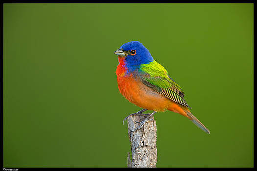 Male Painted Bunting in Field of Green by Pete Parker