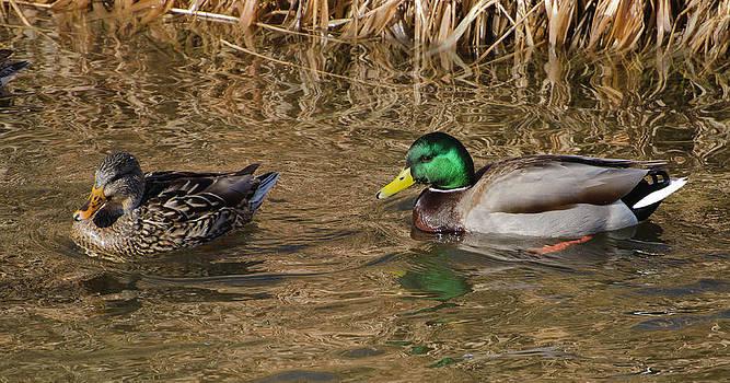 Mallard Duck Family by Kenneth Eis