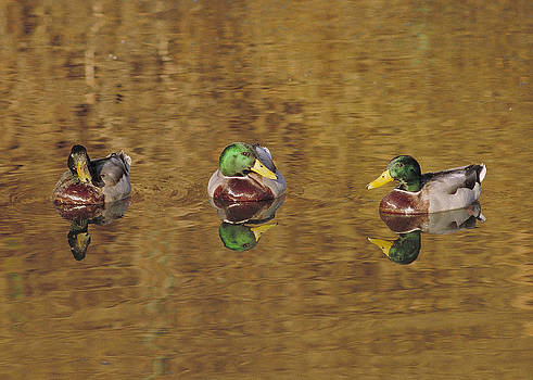 Mallard Trio by Doug Herr