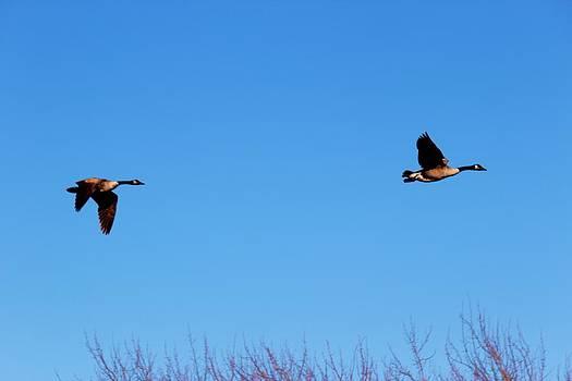 Mallards in Flight by Rita Tortorelli