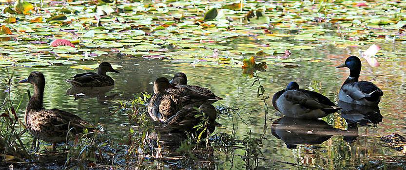 Mallards on the Pond by Jo Sheehan