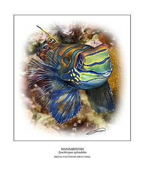 Mandarinfish 1 by Owen Bell