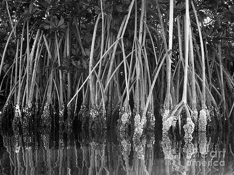 Mangrove Reflections by Sara  Mayer