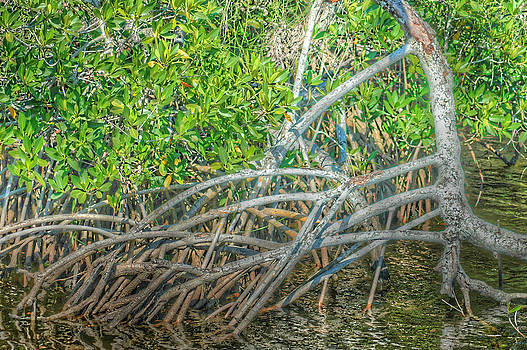 Ronald T Williams - Mangrove Roots
