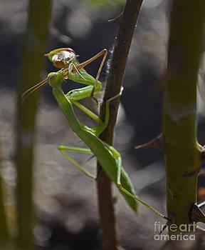 Mantis' Prey by Suze Taylor