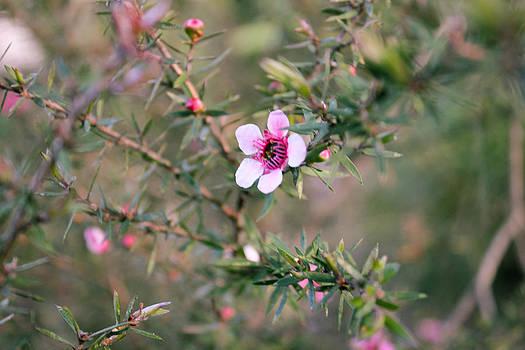 Manuka Flower by Mathew Tonkin Henwood
