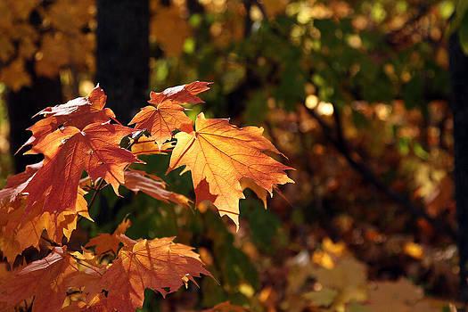 Maple Leaf Glow by James Hammen