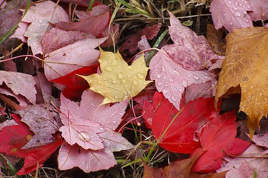 Maple Leaf by Long Nguyen