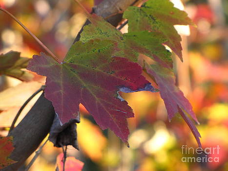 Maple Leaf by Richard Nickson