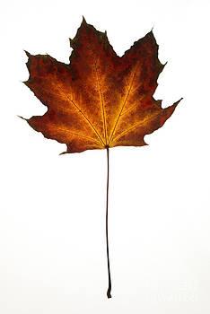 Maple leaf by Tony Cordoza
