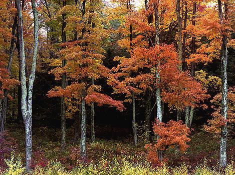 Maple Trees Bovina Center by John Wolf