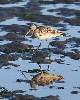 Marbled Godwit by Ben Fowler