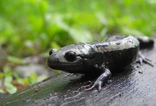 Marbled Salamander by Griffin Harris