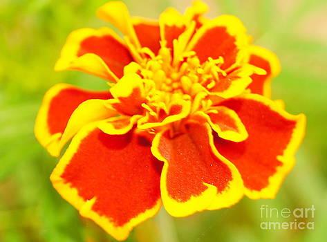 Marigold closeup  by Diane Stresing