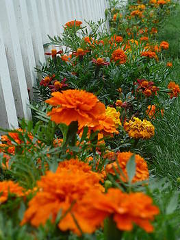 Angela Hansen - Marigolds by White Picket Fence