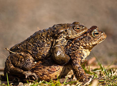 Mating Toads by Andy Stuart