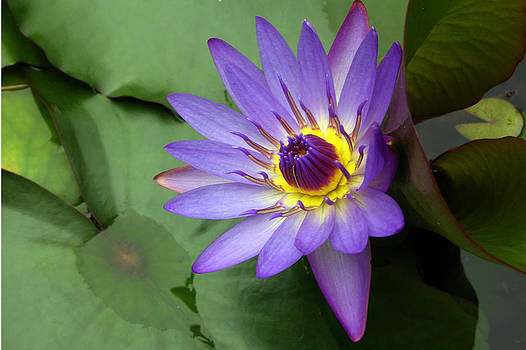 Maui Waterlilly by David Ignaszewski