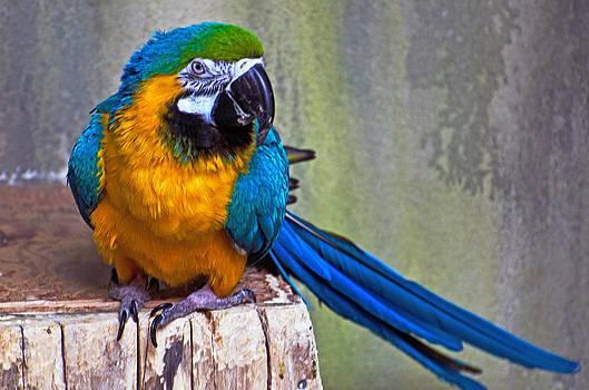 Mawcaw posing pretty by Cheryl Cencich