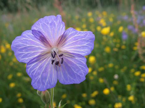 Meadow Cranesbill Geranium pratense by Matthias Hauser