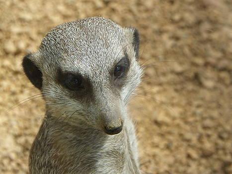 Meerkat by Daniel Gasteiger