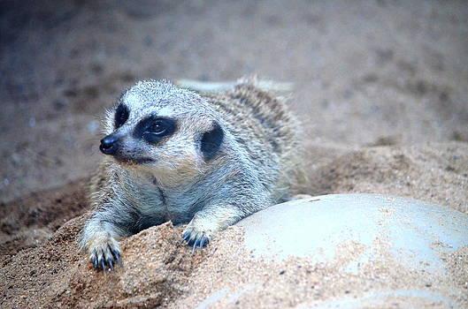 Ronald T Williams - Meerkat On The Prowl