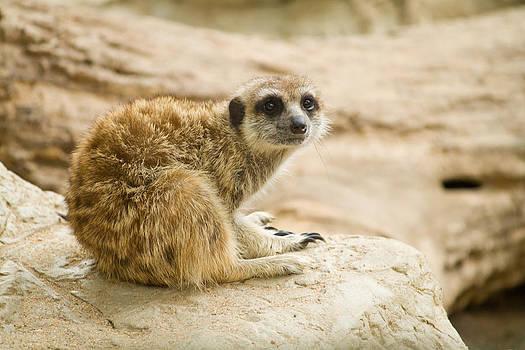 Meerkat on the Rock by Acha Yhamruksa