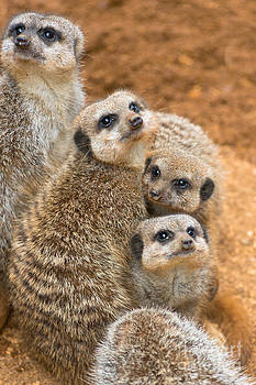 Meerkats by Andrew  Michael