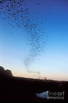 Dante Fenolio - Mexican Freetail Bats