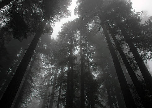 Mighty Redwoods by Jonathan Schreiber