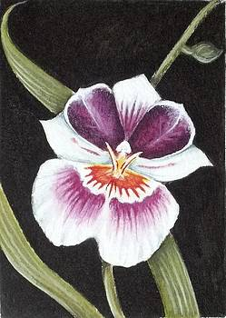 Miltonia Orchid by Debrah Nelson