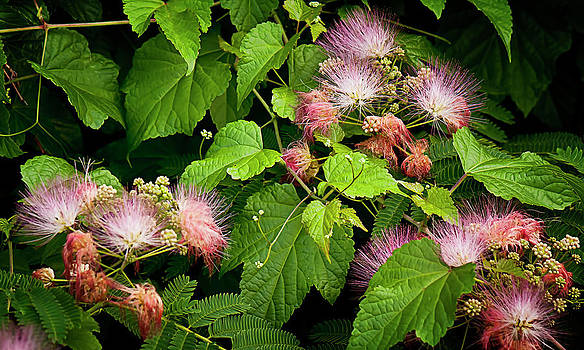 Mimosa and Wild Grapevine by Michael Putnam