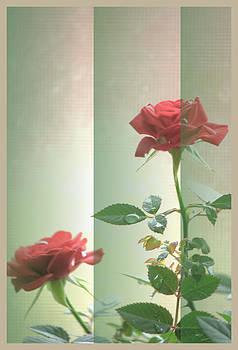 Darlene Bell - Mini Roses