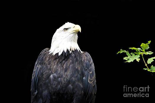 Minocqua Bald Eagle by TommyJohn PhotoImagery LLC