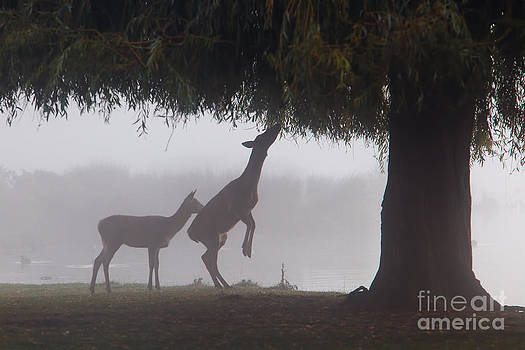 Misty Fawns by Pete Reynolds