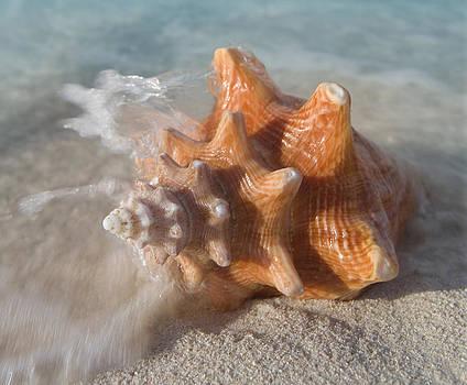 Mollusk Shell by Bryan Allen