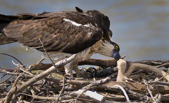 Mom Feeding by Bob Lennox