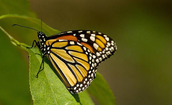 Monarch Beauty by Dean Bennett