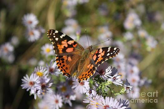 Monarch Butterfly closeup on Purple Wildflower's by Robert D  Brozek