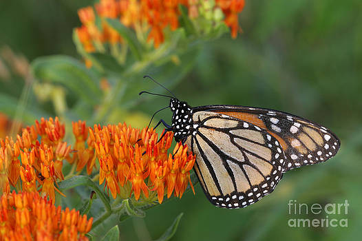 Kenneth M Highfill - Monarch Butterfly feeding on Milkweed