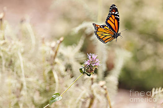 Susan Gary - Monarch Butterfly in Flight