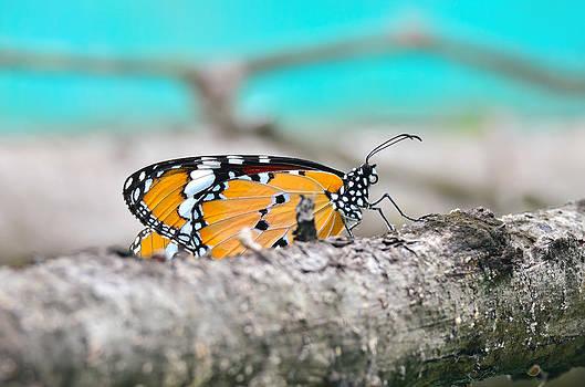 Monarch butterfly by Kanoksak Detboon
